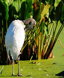 Stork Preening Stock Photo