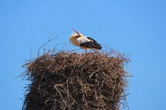 Stork protects his handkerchief. royalty free stock images