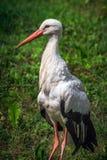 Lviv city center. Stork with red beak sits on green grass in Lviv, Ukraine Royalty Free Stock Images