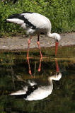 Stork Reflection. Great white stork reflected in water Royalty Free Stock Photos