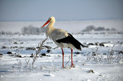 Stork remaining winter_8 Royalty Free Stock Photo