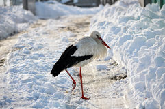Stork remaining winter Stock Photography