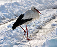 Stork remaining winter_2 Royalty Free Stock Images