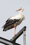 Stork Resting Up High Looking Into The Distance Stock Photo