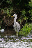 Stork on the river Stock Photography