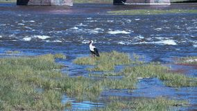 Stork at the river. In summer day stock footage