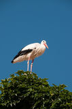 Stork on roo top (ivy covered) Royalty Free Stock Image