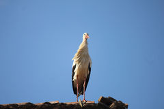 Stork on the roof. A stork on the roof Stock Photo