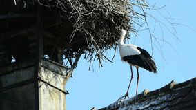 Stork on a roof stock video footage