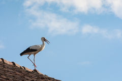 Stork on the roofs Royalty Free Stock Image