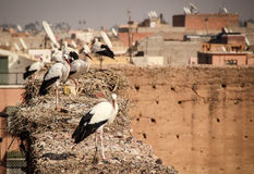 Stork on the roofs of Marrakech. With satellite dishes in the background Royalty Free Stock Photography