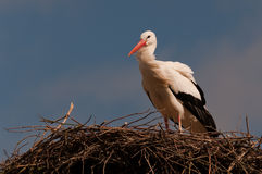 A Stork on its nest Stock Photo