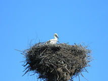 The Stork`s Nest. Stork in a nest against the blue sky Royalty Free Stock Photography