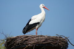 Stork at it's nest Stock Images