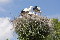 Stork's Nest with young Storks Royalty Free Stock Images