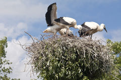 Stork's Nest with young Storks Royalty Free Stock Photos