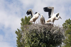 Stork's Nest with young Storks Stock Image