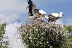 Stork's Nest with young Storks Royalty Free Stock Photo
