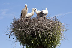 Stork's Nest with young Storks Stock Photos