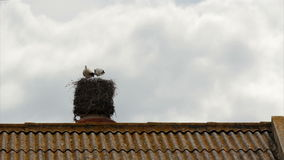 Stork's standing in nest on top of old chimney stock footage
