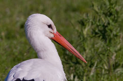 Stork searching for food Stock Photography