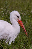 Stork searching for food Royalty Free Stock Image