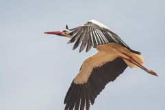 Stork series 06 Stock Images