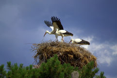 Stork shade. Stork standing under parent wings outstretched to protect his family in hot summer day.July 11 th,2014.Bulgaria.Happy family.Love and care concept Royalty Free Stock Image