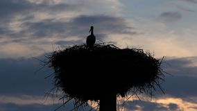 Stork silhouette fly back home in the nest, big wings on evening sky. Full HD stock video footage
