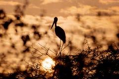 Stork silhouette Stock Image
