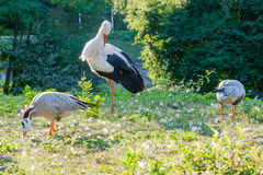A stork is sitting on the grass Stock Image