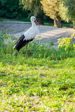 A stork is sitting on the grass Stock Images