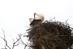 Stork sitting in the nest Royalty Free Stock Photography
