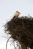 Stork sitting in the nest Royalty Free Stock Image