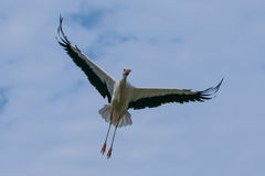 Stork in the sky. Flying stork in Salem at Lake Constance, Germany Stock Photography