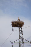 Stork som bygga bo på elektriskt torn Fotografering för Bildbyråer