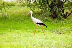 Stork i skogen Fotografering för Bildbyråer