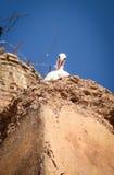 Stork som kikar över kanten av dess rede royaltyfri fotografi