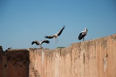 Stork som in kommer att landa arkivbilder