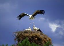 Stork som landar dess rede Fotografering för Bildbyråer