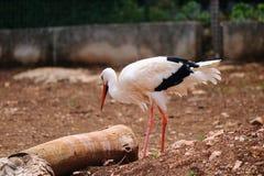 Stork som söker mat Royaltyfri Foto
