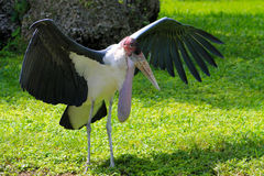 Stork spreading its wings Stock Image