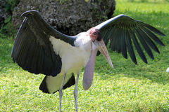 Stork spreading its wings Royalty Free Stock Photos