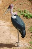 A stork standing boldly surveying the area. stock image