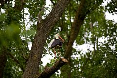 Stork standing on Branch Royalty Free Stock Photography