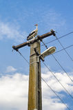 Stork. Standing on electricity pole on blue sky with white clouds background Stock Images