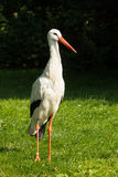 Stork standing in a field Stock Photography