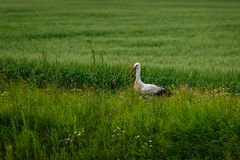 Stork standing on grass field Stock Image