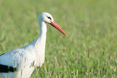 Stork standing in grass Royalty Free Stock Image