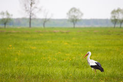 Stork standing in a high grass Royalty Free Stock Images
